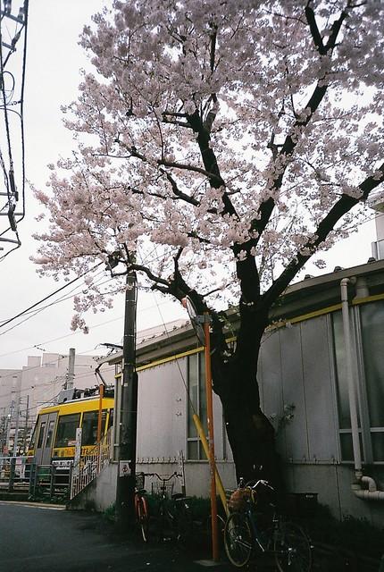 駅裏の一本桜