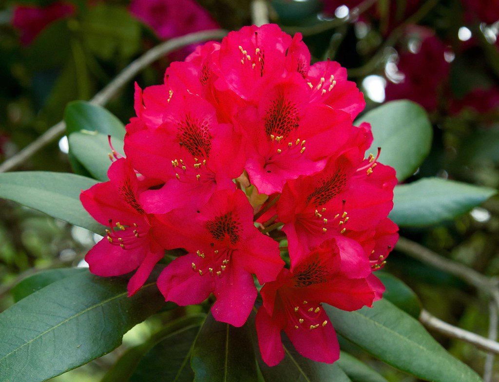 rhododendron dating site Rhododendron bar, sykesville, pennsylvania 171 likes dance & night club.