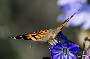Painted Lady 51858 | by H.G.R