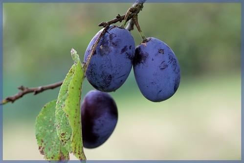 Quetsches/Damson plums