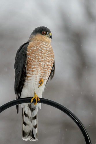 Sharp-shinned Hawk_41273.jpg | by Mully410 * Images