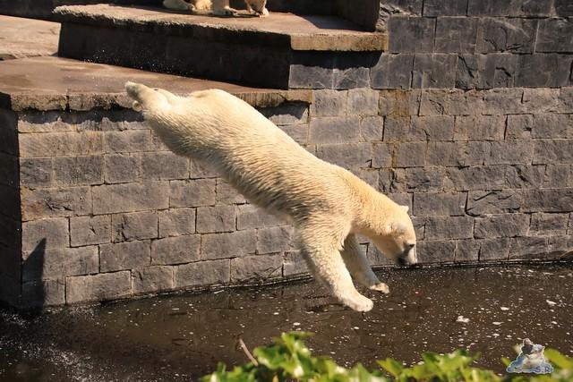 Eisbär Fiete im Zoo Rostock 04.06.2016   0162