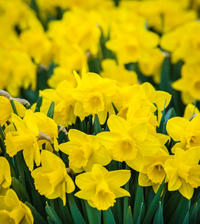 The Daffodil Patch | by PopsDigital