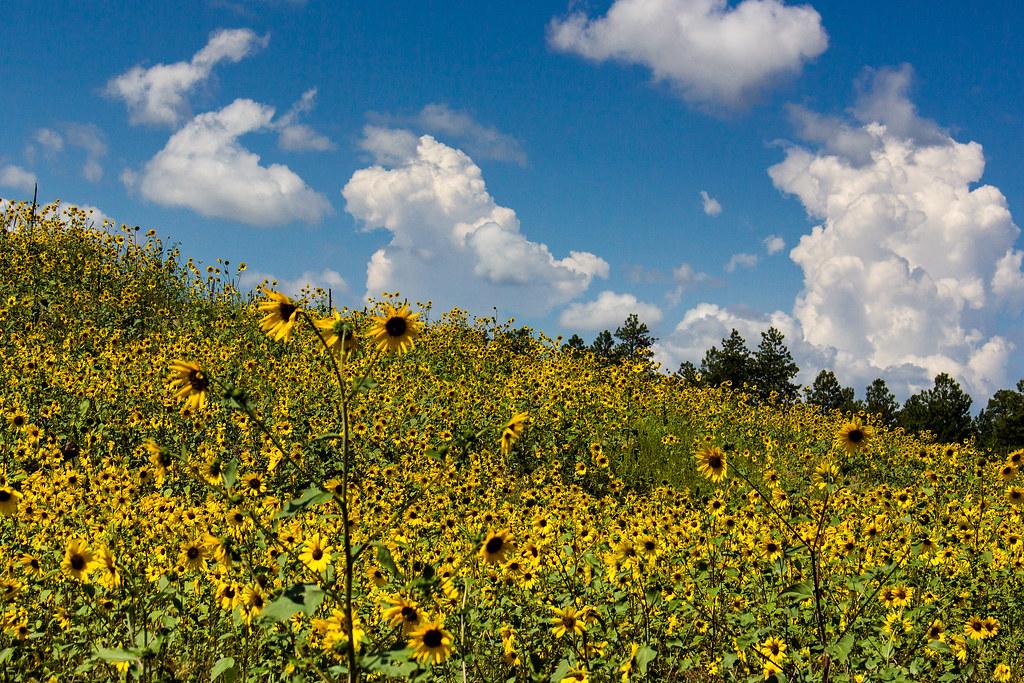 USA - Arizona Sunflowers