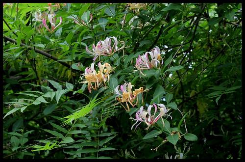 Lonicera - chévrefeuille des bois (2)