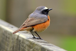DSC_9231 Redstart! | by jefflack Wildlife&Nature