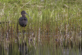 Glossy Ibis | by Frode Falkenberg