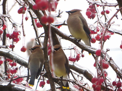 Winter Cedar Waxwings | by rkramer62