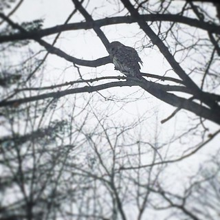 This guy just swooped in front of my office window - the wingspan!! #eatallthemiceplease #barredowl #owl #countrylife #birdwatching | by JessaLu