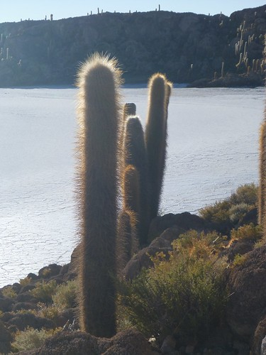Line of cacti