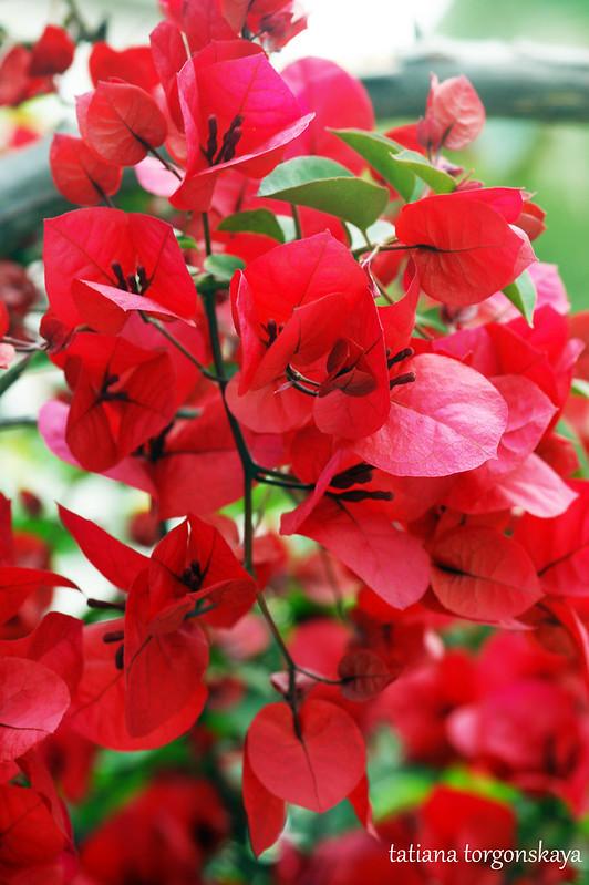 Красная бугенвиллея