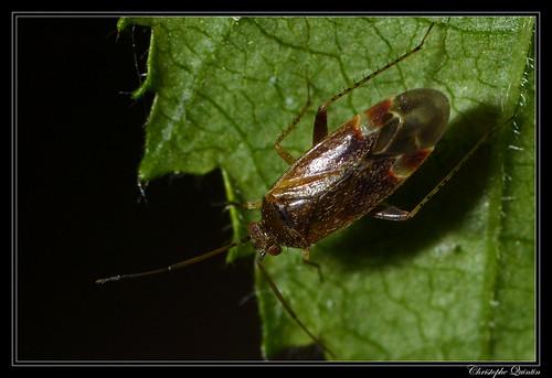 Psallus sp. on Corylus avellana