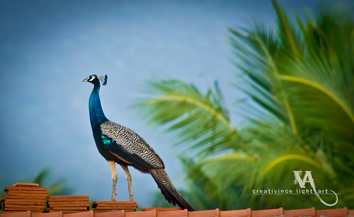 A male peafowl | by creati.vince