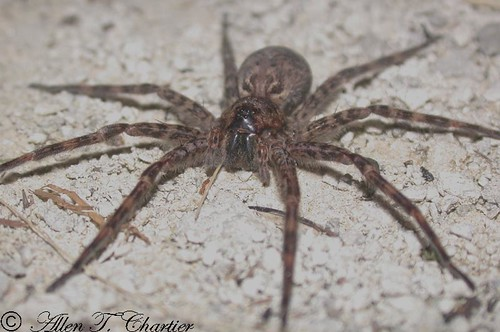 Dolomedes tenebrosus (Dark Fishing Spider)