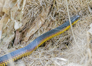 Tiger snake | by gus.meredith