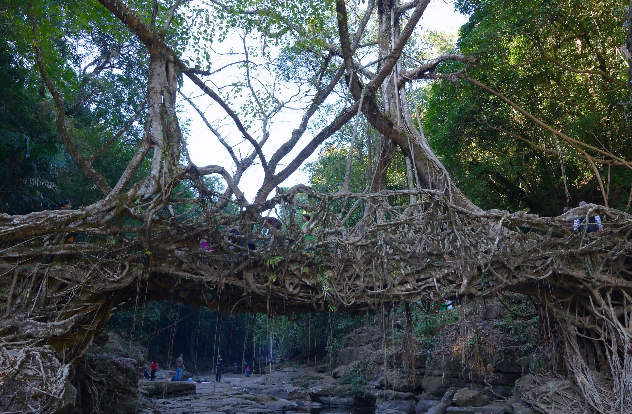 Root Bridge in Meghalaya