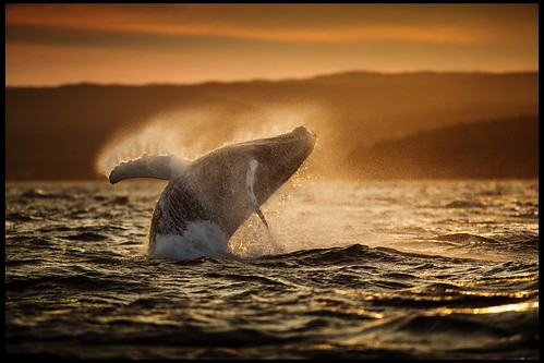 National Geographic Wallpaper Whales Humpback Whale ...