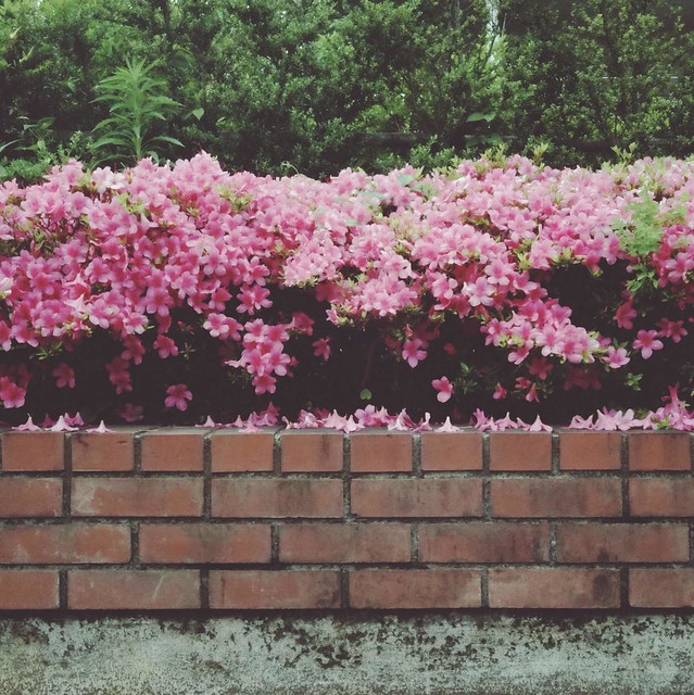 Azalea flowers and brick wall