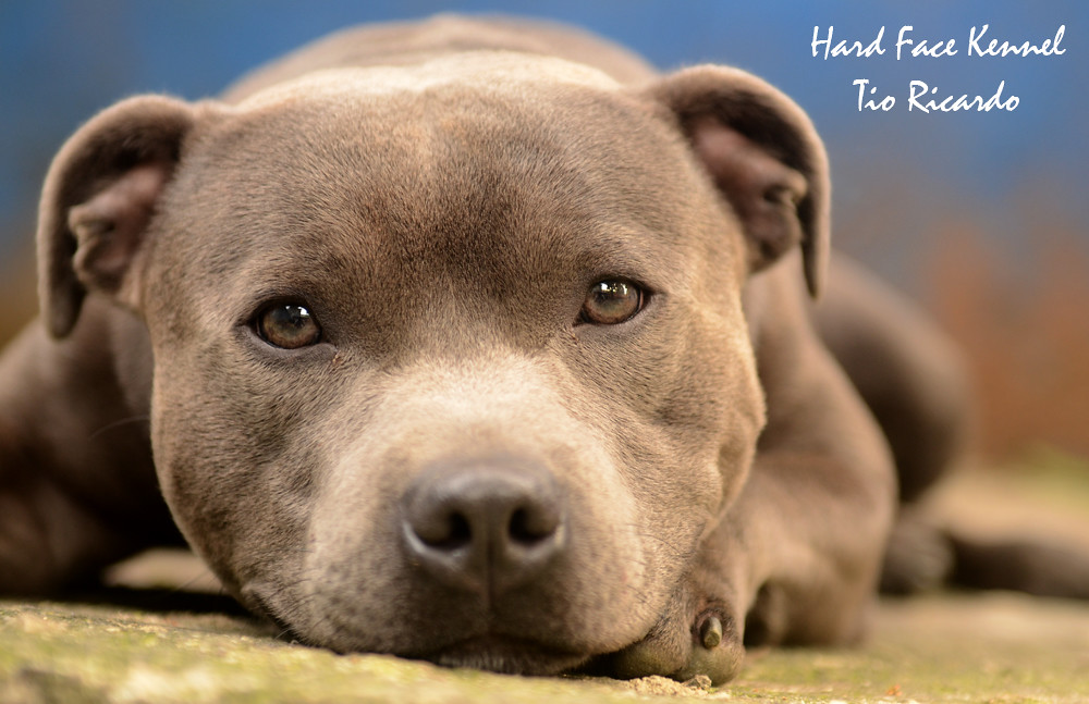 Well-known STAFFORDSHIRE BULL TERRIER AZUL BLUE | HARD FACE KENNEL  QG55