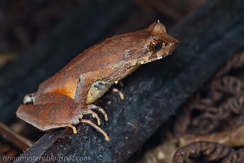 _MG_8943 copy Long legged horned frog (Xenophrys longipes) | by Kurt (OrionHerpAdventure.com)
