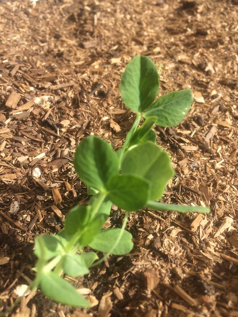 The veggie garden grows | First week of February progress, i… | Flickr