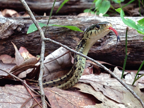Garter Snake (Thamnophis sirtalis) sticking out her tongue ...