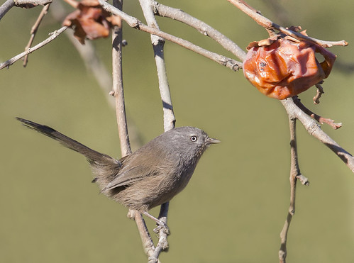 wrentit | by hawk person