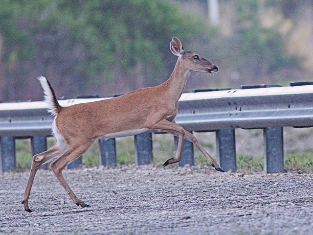 White-tailed Doe run and jump 04-20160601