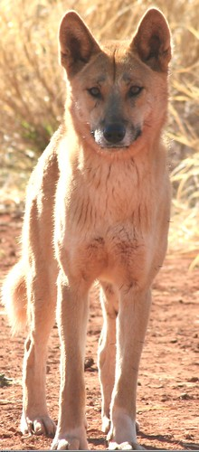 Dingo, credit Ken Shaw copy 2 | by Oregon State University