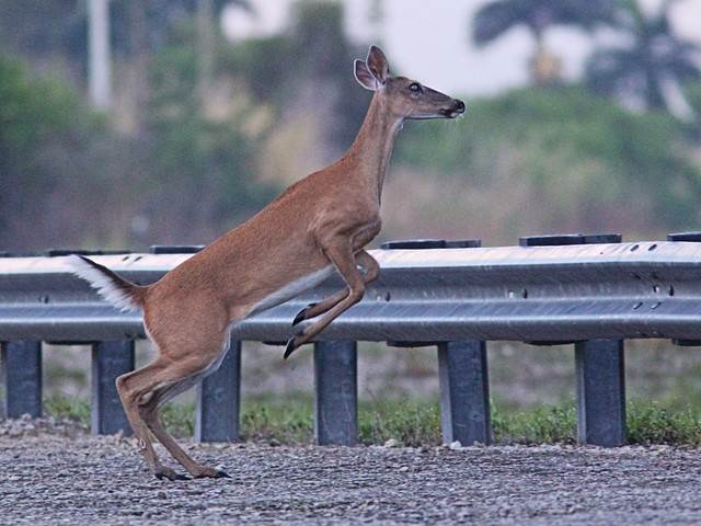 White-tailed Doe run and jump 05-20160601
