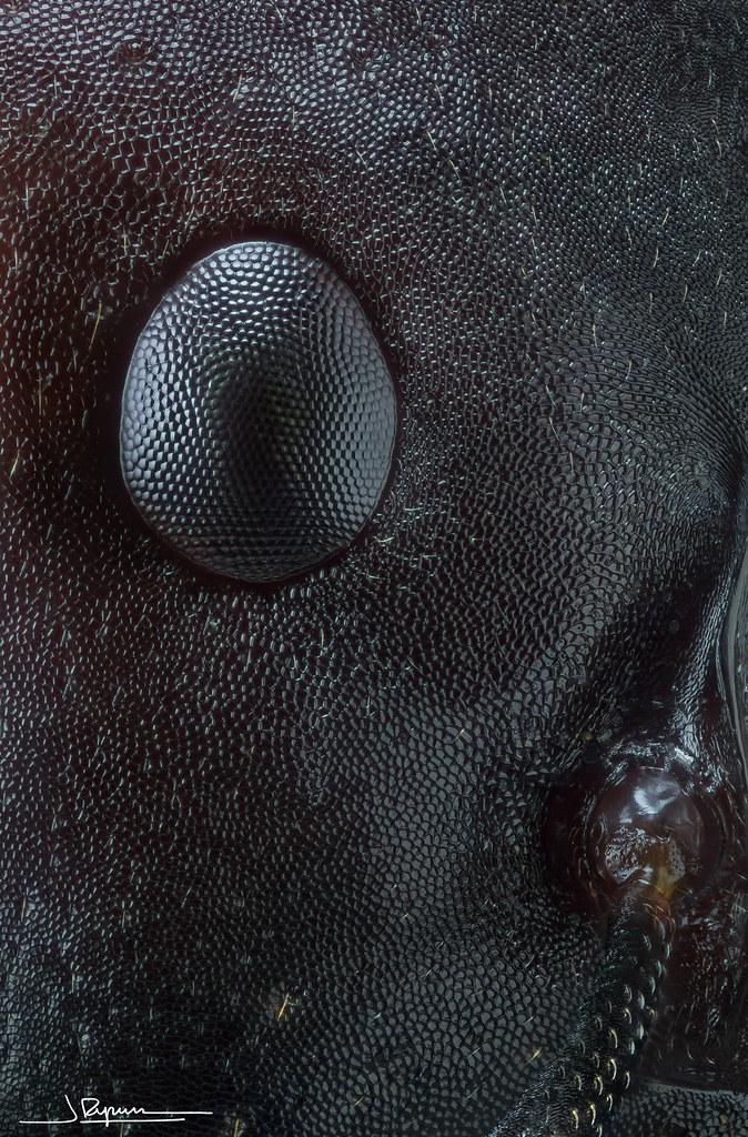 Ojo De Hormiga Canon Eos 1000d Objetivo Nikon Bd Plan 10 Flickr