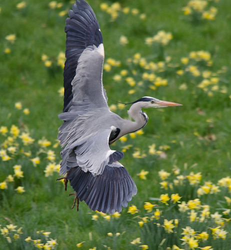 Grey Heron | by markhows