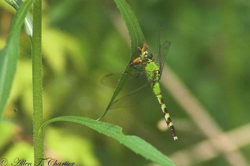 Erythemis simplicicollis (Eastern Pondhawk)