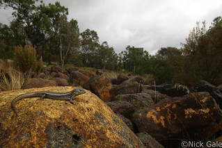 Whites Skink (Liopholis whitii) | by Nick Gale