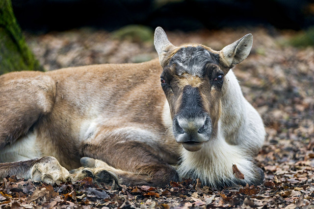 Yound reindeer female lying