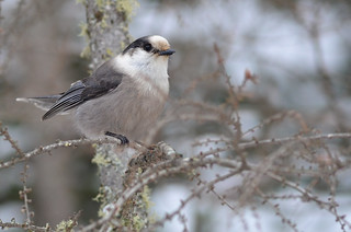 Gray Jay | by malcolmgold