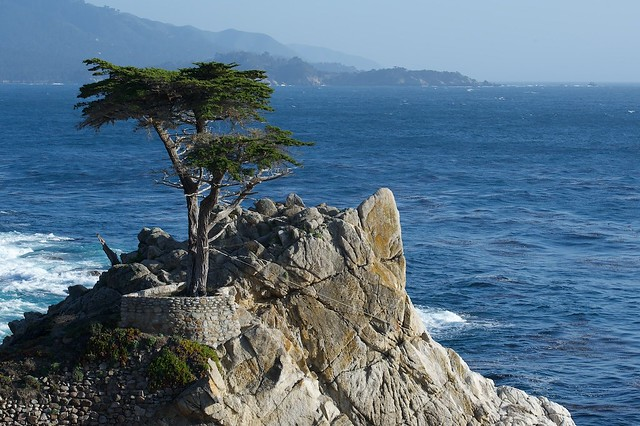 Lonely Cypress Tree