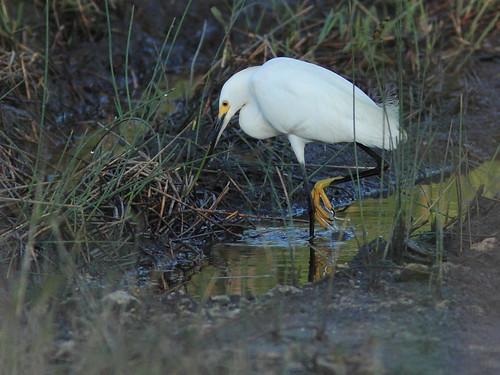 Snowy Egret 20160525