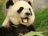 107 Reuze panda zit te eten