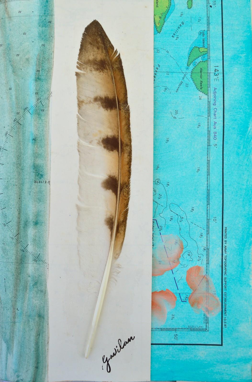 gavilan feather (sparrowhawk)