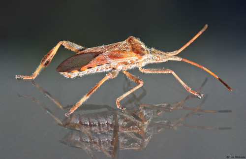 western conifer seed bug how to get rid of