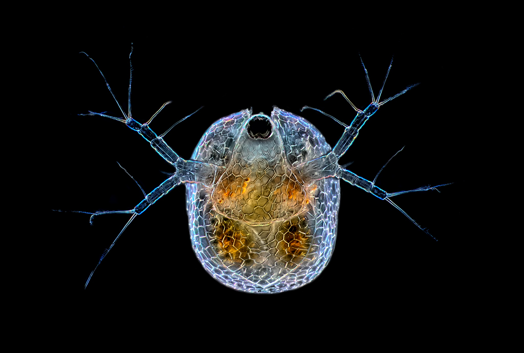 Water Flea Ceriodaphnia Top View Nikon Te300 Plan Apo Flickr