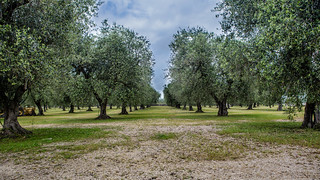 Olive trees - IMG_4151 | by Nicola since 1972