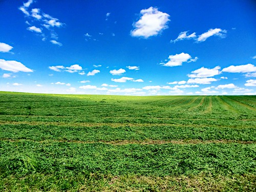 first alfalfa cutting. | by snowdeal