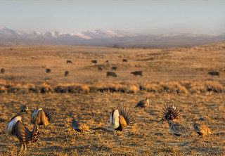 Greater sage grouse | by USDAgov