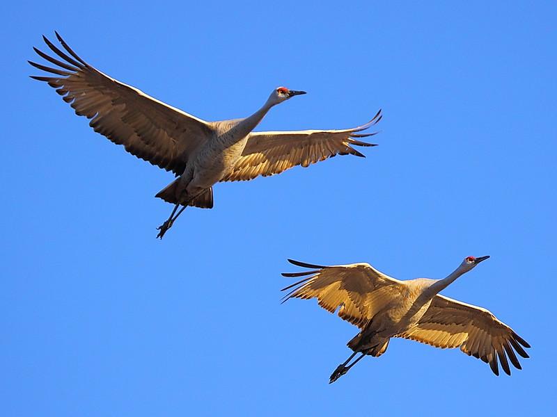 IMG_7051 Sandhill Crane, Bosque del Apache National Wildlife Refuge