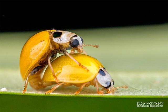 Ladybirds mating (Illeis cf. koebelei) - DSC_1847