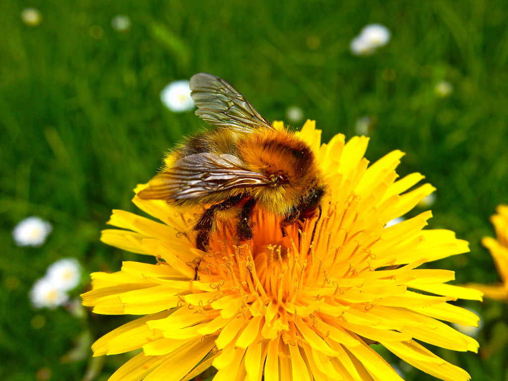 bumblebee n0411 bumblebee bombus hummel mamangaba flickr