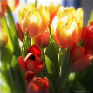 sunny tulips | sonnige Tulpen | by wideness