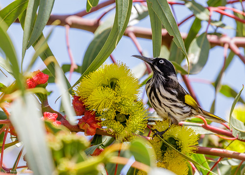 New Holland Honey-eater | by gus.meredith